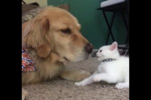 Kitten-wants-to-play-dog-wants-to-nap