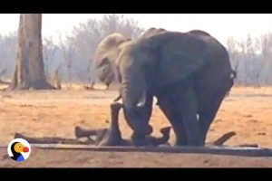 Lions-Circle-Trapped-Baby-Elephant-UNTIL-Another-Elephant-Family-Shows-Up-The-Dodo