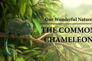 Our-Wonderful-Nature-The-Common-Chameleon