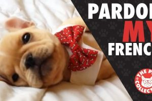 Pardon-My-French-French-Bulldog-Video-Compilation