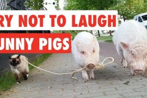 Try-Not-To-Laugh-Funny-Pigs-Video-Compilation-2017