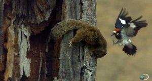 Woodpecker-Fends-Off-Squirrel-North-America
