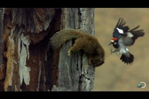 Woodpecker-Fends-Off-Squirrel-North-America