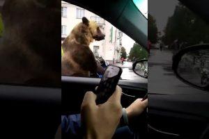 Bear-in-Russian-traffic