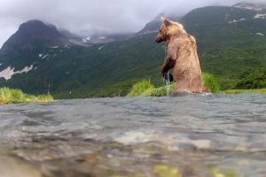 GoPro-Grizzly-Eats-My-GoPro