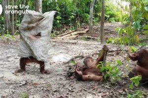 Hilarious-orangutan-does-everything-to-get-his-friends-attention