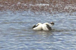 Hooded-Grebe-courtship-dance-rare-footage-from-Tango-in-the-Wind