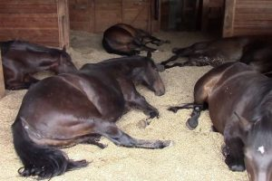 Horses-Peacefully-Farting-and-Snoring