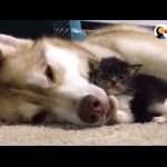 Husky Dog Adopts Stray Cat Saving Her Life