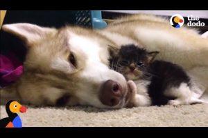 Husky-Dog-Adopts-Stray-Cat-Saving-Her-Life-The-Dodo-Comeback-Kids