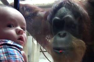 Orangutan-Kisses-Baby