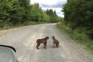 Two-Lynx-near-Kokadjo-Maine
