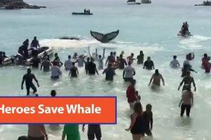 Beachgoers-rescue-beached-whale