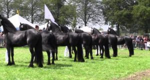 The-KFPS-Royal-Friesian-Horse