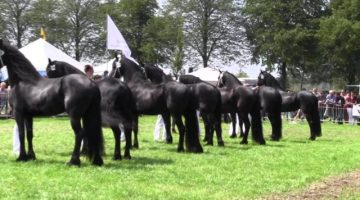 The-KFPS-Royal-Friesian-Horse