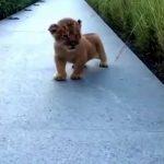 Lion Cub Trying to Roar