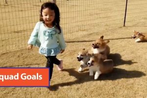 Toddler-Runs-Around-With-Corgi-Puppies