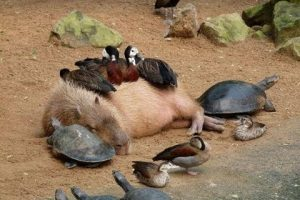Why-Do-Animals-Like-Capybaras-So-Much