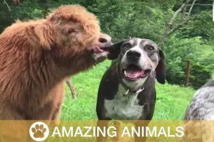 Adorable-Cow-Thinks-Hes-A-Dog-And-Lives-In-House