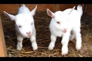 Cute-Baby-Goats-A-Cutest-And-Funny-Goats-Baby-Videos-Compilation-NEW-HD
