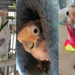 Fefe The Plucking Cute Cockatoo   CUTE AS FLUFF