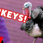 Funniest Turkey Videos & Bloopers