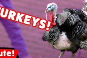 Funniest-Turkey-Videos-Bloopers-Weekly-Compilation-2016-Kyoot-Animals