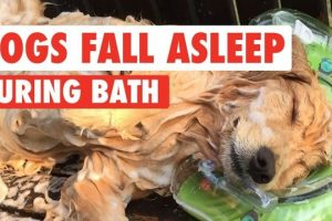 Golden-Retriever-Falls-Asleep-While-Getting-A-Bath