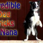 Incredible Dog Tricks by Nana the Border Collie
