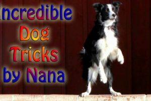 Incredible-Dog-Tricks-by-Nana-the-Border-Collie