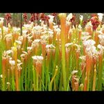 Most AMAZING Carnivorous Plants