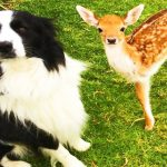 Rescued Baby Deer Grows Up With Dogs