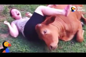 Rescued-Cow-Cuddles-With-His-Family-The-Dodo