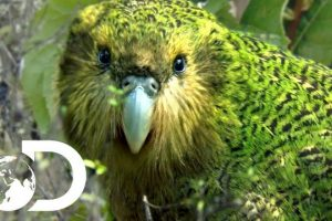 The-Strangest-Parrot-in-the-World-Modern-Dinosaurs
