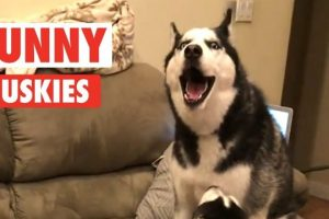 10-Funny-Huskies-Video-Compilation-2017-Breed-All-About-It