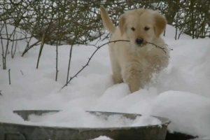 Adorable-Golden-Retriever-Puppies-in-the-Snow