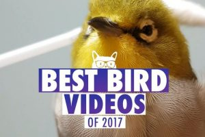 Best-Bird-Videos-of-The-Year-2017-Pets-of-2017