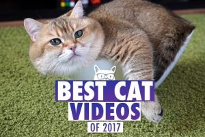 Best-Cat-Videos-of-The-Year-2017-Pets-of-2017