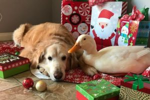 Best-Friends-Dog-And-Duck-Celebrate-Christmas-CUTE-AS-FLUFF