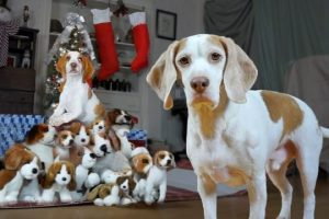Dog-Gets-Puppy-Christmas-Surprise-Cute-Dogs-Maymo-Potpie