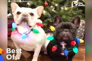 Dogs-and-Other-Animals-With-Holiday-Spirit-Holiday-Animal-Compilation-The-Dodo-Best-Of
