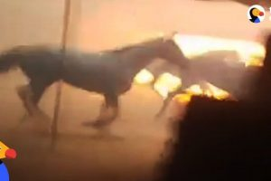 Men-Run-Into-Burning-Barn-To-Save-Horses-Trapped-by-California-Wildfires-The-Dodo