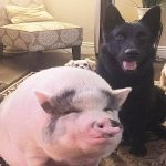 Pig Is Smarter Than His Dog Siblings