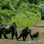Silverback Gorilla Stops Traffic to Cross Road