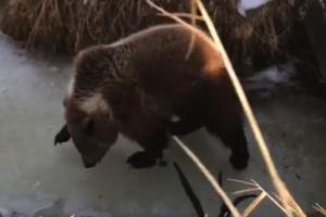 bear-on-ice