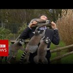 BBC Reporter Mobbed by Lemurs