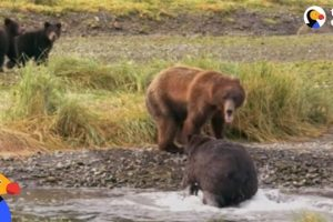 Bear-Mom-Fights-Off-Male-To-Protect-Her-Babies-The-Dodo