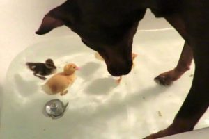Doberman-gets-in-tub-with-baby-ducks