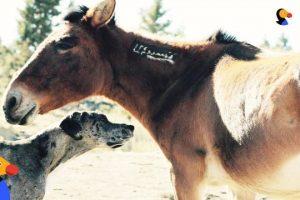 Great-Dane-Dog-Befriends-Wild-Horses-The-Dodo