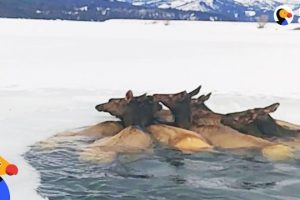 Herd-of-Elk-Rescued-After-Falling-Through-Ice-The-Dodo
